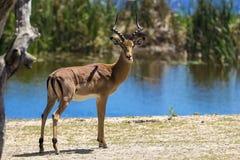 Impala, Kruger National Park Royalty Free Stock Photography