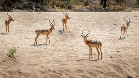 Several Impala wary of predators royalty free stock photo