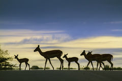 Impala in Kruger National park, South Africa Stock Photos