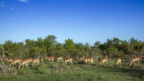 Impala in Kruger National park, South Africa Royalty Free Stock Photo