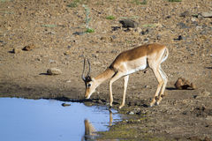 Impala in Kruger National park Stock Photo