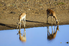 Impala in Kruger National park Royalty Free Stock Image