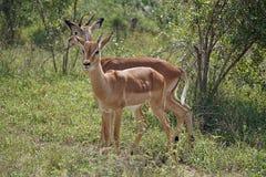 Impala Kruger National Park. Two Impala Kruger National Park Stock Photography