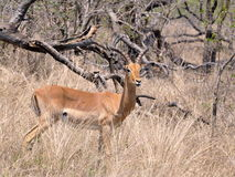 Impala in Kruger Park Royalty Free Stock Images
