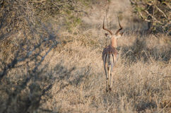 Impala in Kruger Park South Africa Stock Photo