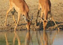 Impala - la compagnia è la cosa migliore Fotografie Stock Libere da Diritti