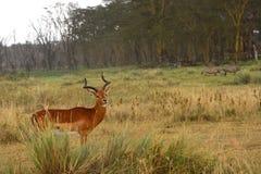 Impala, Lake Nakuru National Park, Kenya Stock Photography