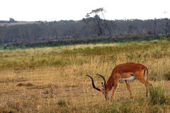 Impala, Lake Nakuru National Park, Kenya Royalty Free Stock Photos