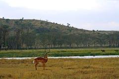 Impala, Lake Nakuru National Park, Kenya Stock Image