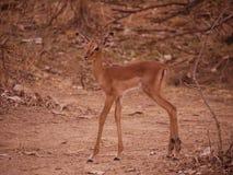 Impala lamb Royalty Free Stock Photography