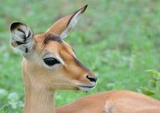 Impala-Lamm Stockfotografie