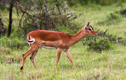 Impala on the lawn in the savannah. Royalty Free Stock Image