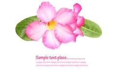 Impala leluja, pustyni róża, Próbna azalia, Pinkbignonia, Adenium Obrazy Stock