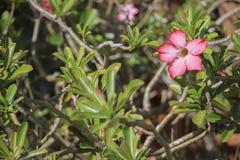 Impala-Lilie nennen auch Wüstenrose oder Spott Azalee oder Adenium obesum Lizenzfreies Stockfoto
