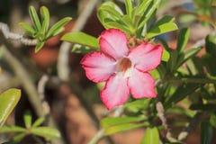 Impala-Lilie nennen auch Wüstenrose oder Spott Azalee oder Adenium obesum Lizenzfreie Stockfotos
