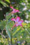 Impala-Lilie oder Wüstenrose oder Spott Azalee oder Adenium obesum Stockfotografie