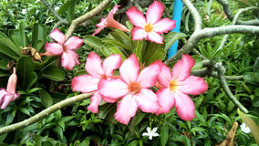 Impala-Lilie, rosa Bignonia Lizenzfreies Stockbild