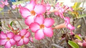 Impala-Lilie, rosa Bignonia Stockfotografie