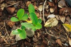 Impala-Lilie, rosa Bignonia, Scheinazalee, Wüstenrose, Adenium obesum, Blume, Anlage Stockfoto