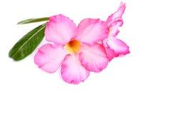 Impala-Lilie, Wüstenrose, Scheinazalee, Pinkbignonia, Adeniumflorida Stockfotografie