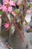 Impala lilly com vagens da semente Imagens de Stock