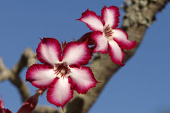 Impala lily Stock Images