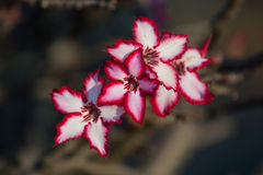 Impala lily Royalty Free Stock Photo
