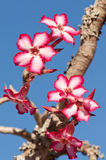 Impala lily. An impala lily plant in bloom Royalty Free Stock Photography