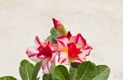 Impala Lily Adenium Royalty Free Stock Photography