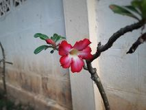 Impala Lily. Blooming Stock Photography