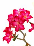 Impala lily or Desert rose. Royalty Free Stock Images