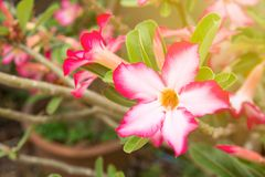 Impala Lily or Desert Rose or Mock Azalea, beautiful pink flower. In garden. Fresh pink flower for background and texture Royalty Free Stock Photos