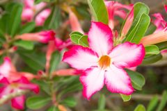 Impala Lily or Desert Rose or Mock Azalea, beautiful pink flower. In garden. Fresh pink flower for background and texture Stock Photo
