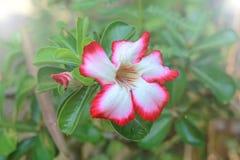 Impala Lily, Desert Rose, Mock Azalea Royalty Free Stock Photos