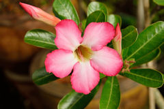 Impala Lily or desert rose Royalty Free Stock Photos