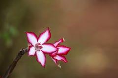 Impala lily flower stock photos