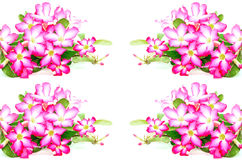 Impala Lily flower Royalty Free Stock Images