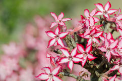 Impala Lily in Kruger Park South Africa Stock Image