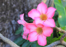 Impala Lily. People be planted Impala Lily as an ornamental plant at home Royalty Free Stock Images