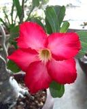 Impala lily. Pink Impala lily Royalty Free Stock Photos