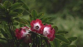 Impala Lily in red and white and black blooming. Against forest greens stock video