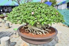 Impala lily tree pot Royalty Free Stock Image