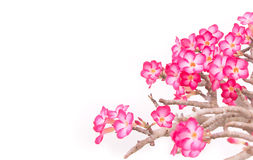 Impala lily - tropical flower Stock Image