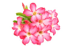 Impala Lily on white background. Desert Rose,Impala Lily on white background Stock Image