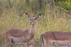 Impala in long grass Stock Photo