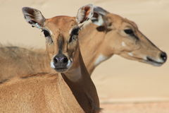 Impala Royalty Free Stock Photos