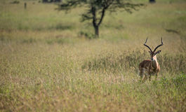 Impala looking for predators Stock Image