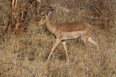 Impala, Madikwe Game Reserve Stock Photo