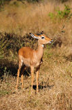 Impala Male (Aepyceros melampus) Stock Photo