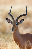 Impala male Royalty Free Stock Image